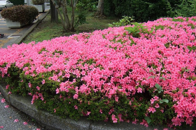 Azaleaの薄赤い花群