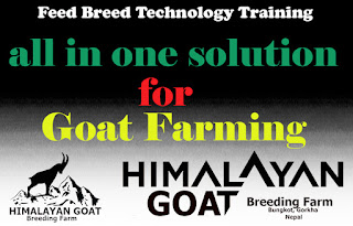 himalayan goat Breeding farm