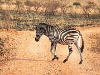 Facts of Zebra #5