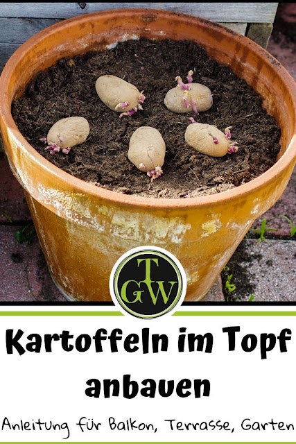 Kartoffeln im Topf anbauen, ist eine tolle Möglichkeit, wenn man wenig Platz im Garten oder nur einen Balkon zur Verfügung hat. Mit meiner Anleitung kannst Du kaum noch etwas falsch machen. #kartoffeltopf #kartoffeln #garten #topfgarten #topfgartenwelt
