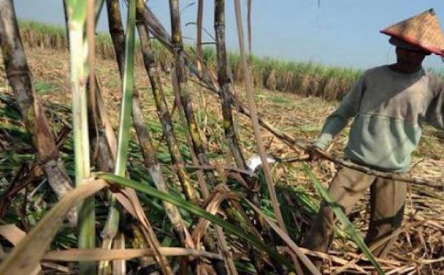Pemerintah mengelurkan kebijakan baru dengan impor 400 ribun ton gula dinilai menyengsarakan petani tebu