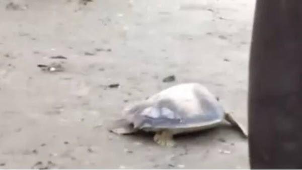 Tortuga regresa al mar cargada con las cenizas de su rescatista