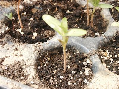 Tohumlardan Pyrethrum: Büyüyen ve Bakım 35
