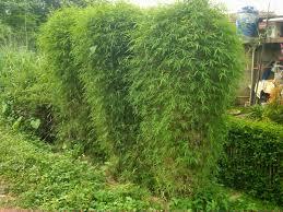 Tanaman pagar | Bambu