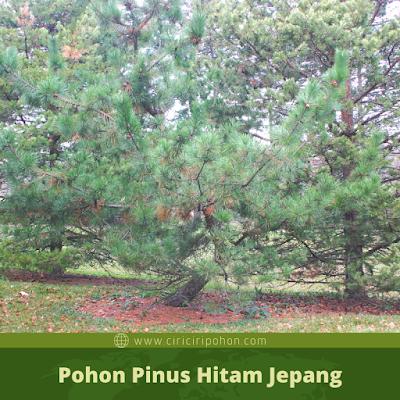 Ciri Ciri Pohon Pinus Hitam Jepang