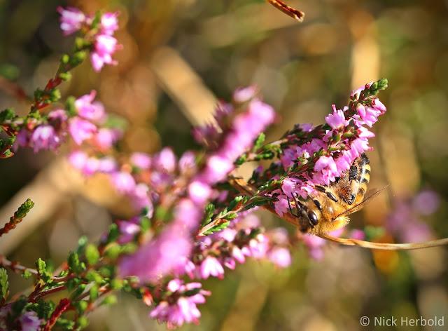Biene auf einer Heideblüte