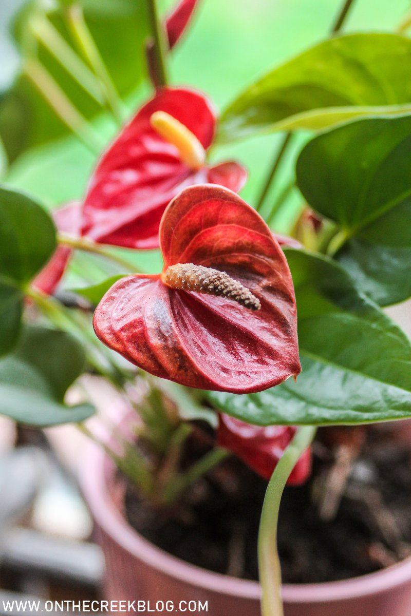 Ace of Hearts Anthurium // 1 year update | On The Creek Blog