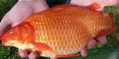 Umpan Ikan Mas Paling Jitu Rekomended