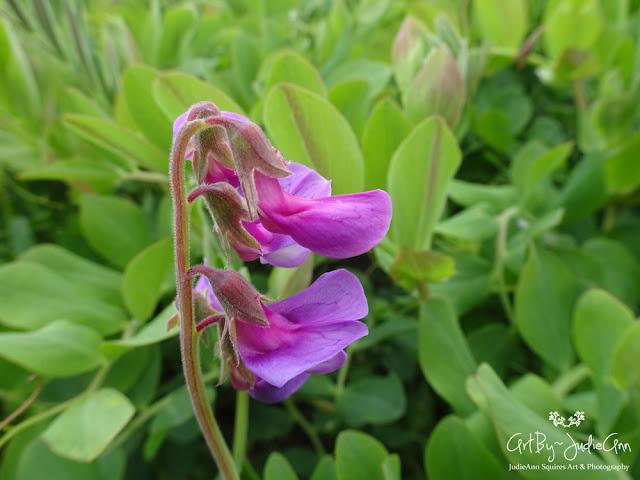 Beach Pea (Lathyrus japonicus) Photo