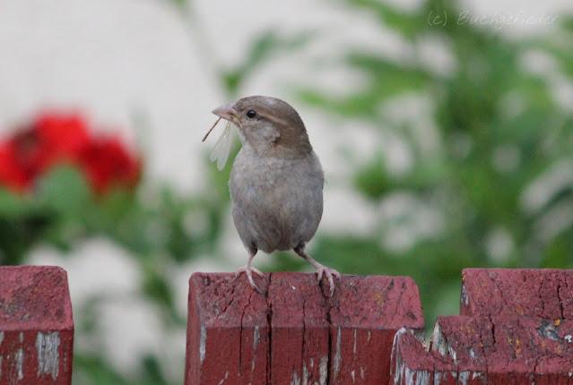 Sperling auf dem Zaun