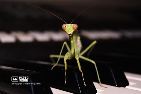 Berani Sekali ! Belalang Sembah-Praying Mantis Masuk Rumahku