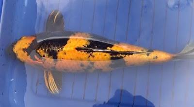 Gambar ikan koi ki utsuri