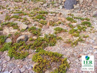 Xenophyllum rosenii