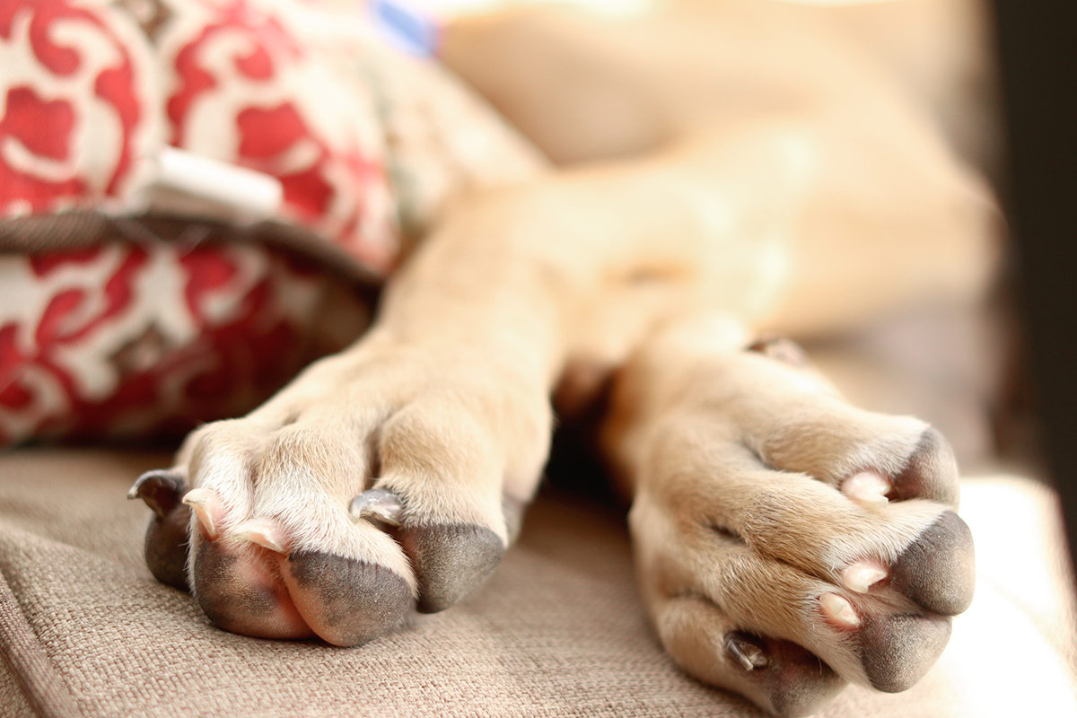 Great Dane Puppy Paws