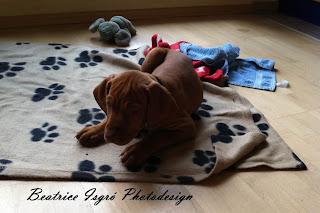 Magyar Vizsla Welpe auf einer Decke