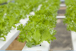 Usaha Menguntungkan Pertanian Hidroponik dan Aeroponik