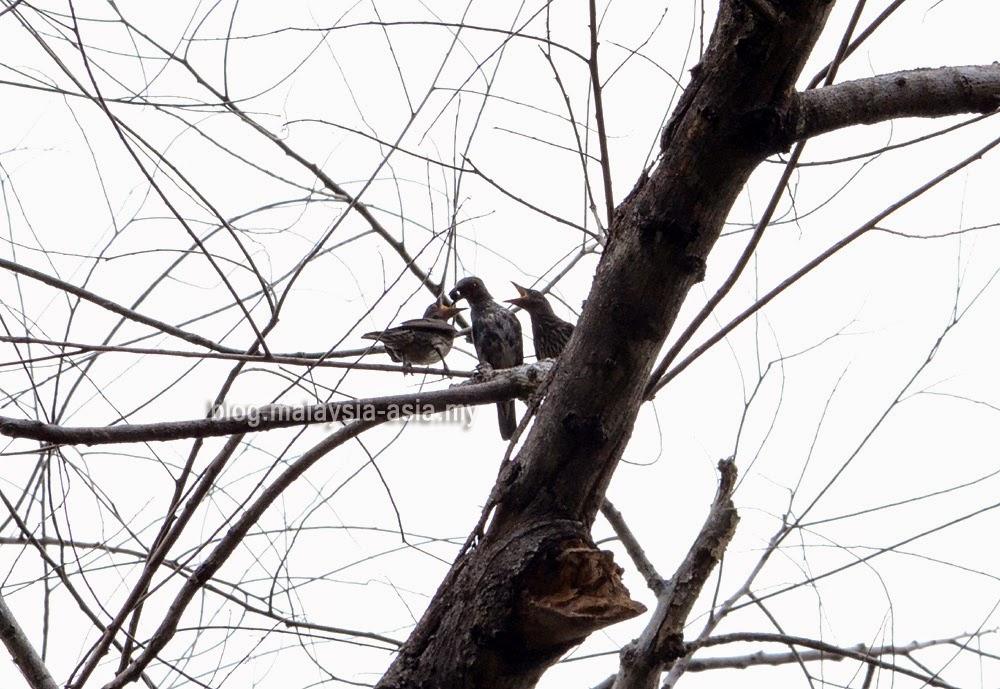 Sabah Museum Botanical Garden Birds