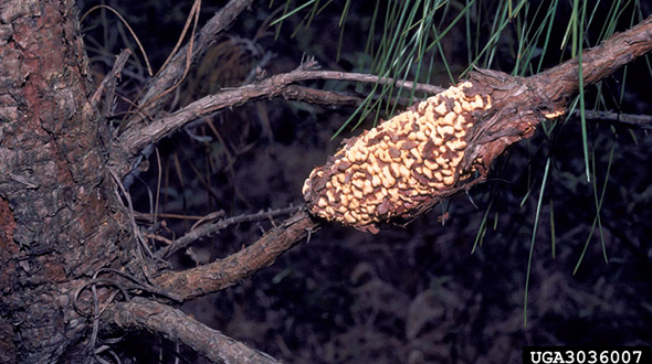 Fusiform rust disease forms galls on pine trees