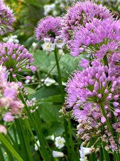 Allium 'Millinium'