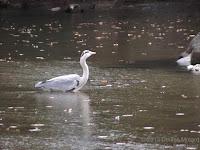 Grey heron in a pond, Kyoto, Japan - © Denise Motard