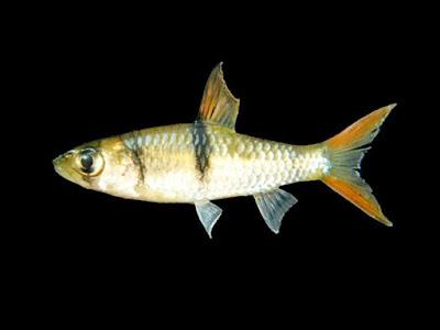 Mengenal Ikan Hampal/Hampala