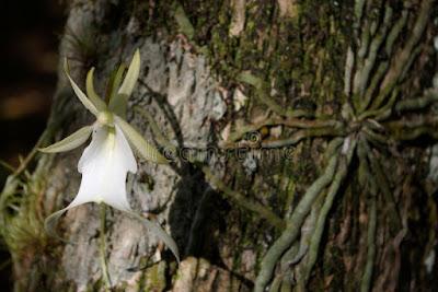 bentuk tanaman anggrek hantu atau anggrek katak putih