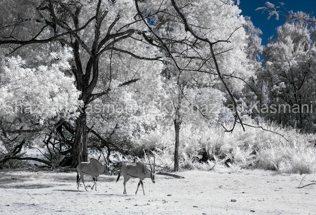Infrared Wildlife Photography, Oryx, Wildlife Photography Tips, Wild Kenya Safaris, Shazaad Kasmani, Wildlife Photography Kenya,