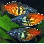 Ikan Hias Air Tawar Terindah Dari Papua