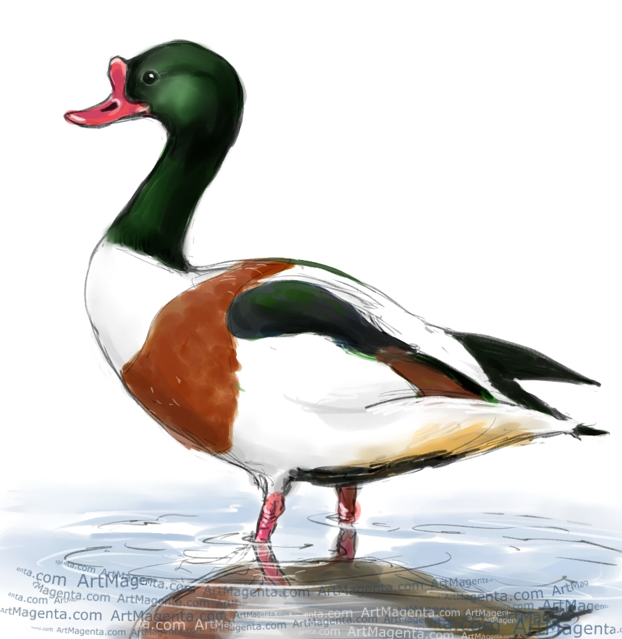 Shelduck sketch painting. Bird art drawing by illustrator Artmagenta