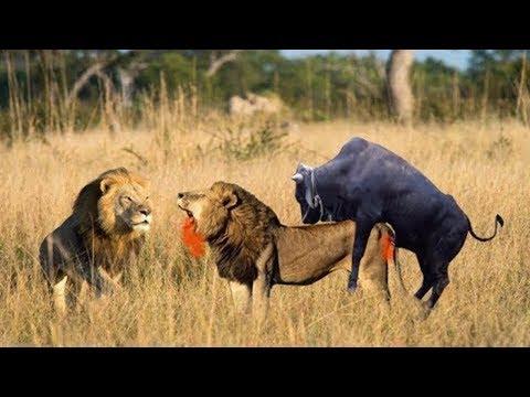 اقوى معارك الحيوانات المفترسة على وجه الارض