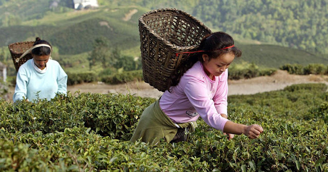 Souring relationship between India and Nepal may help Darjeeling tea industry