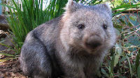 A close-up of a greyish-brown wombat