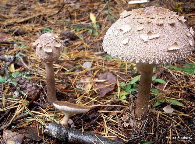 grzyby, grzybobranie, jaki to grzyb, atlas grzybow, grzyby jadalne,