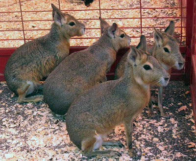 Four brown giant rabbits with short ears and long legs
