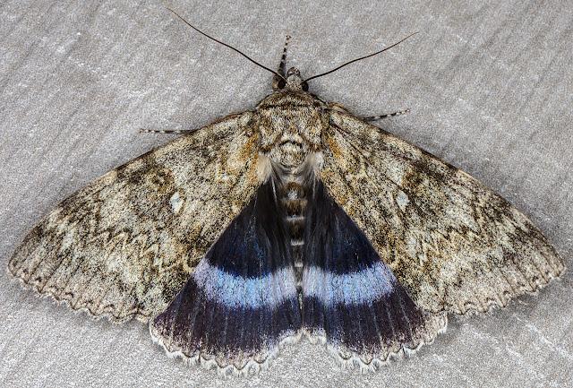 Clifden Nonpareil, Catocala fraxini.  Crowborough, 4 September 2018.