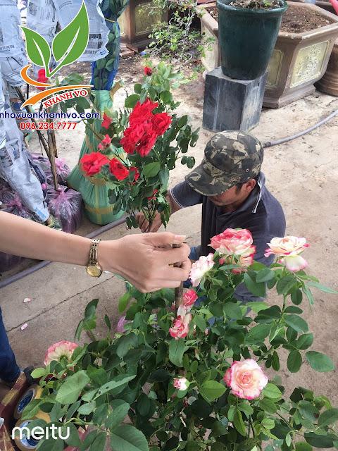 Cây hoa hồng cổ - tree rose - cực sai hoa - đẹp nghệ thuật 03adf0eb0309e157b818_result