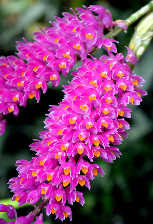 Orchid Daze 2018   Atlanta Botanical Garden   Photo: Travis S. Taylor