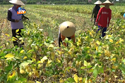 Manfaatkan Kemarau, Petani Sukses Bertanam Kedelai