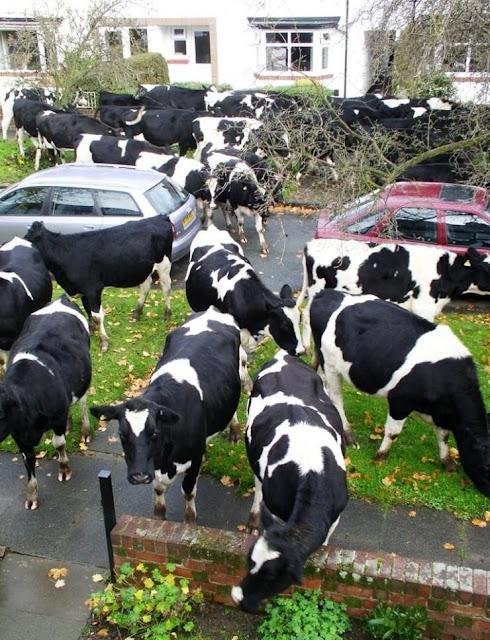 Cows grazing in urban area