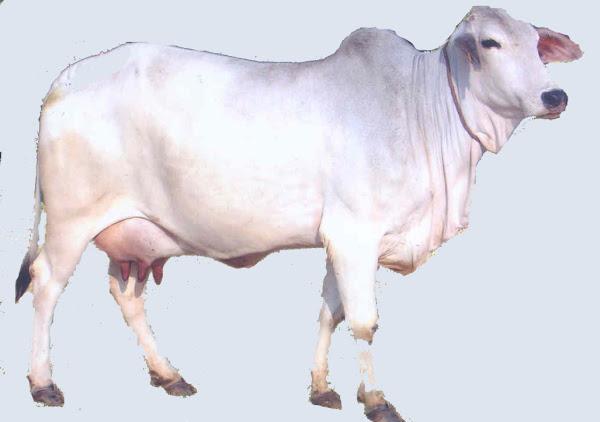 Tharparkar Cow | Modern Farming Methods