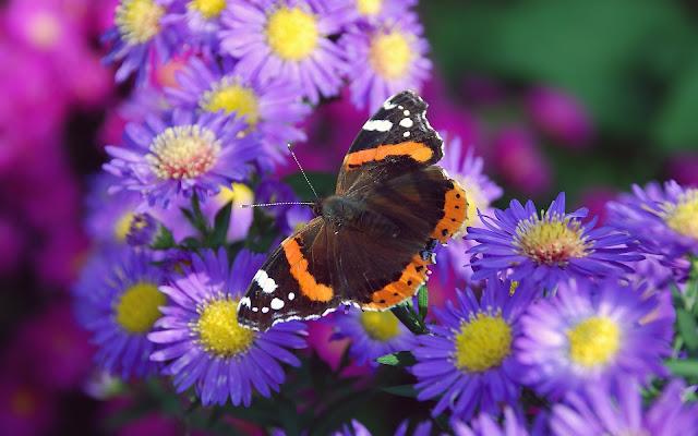 Bruin oranje vlinder op een paarse bloem