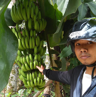 bibit pisang cavendish yogyakarta