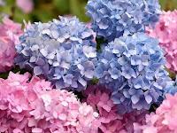Panduan Lengkap Menanam Bunga Hydrangea, Mau Coba?
