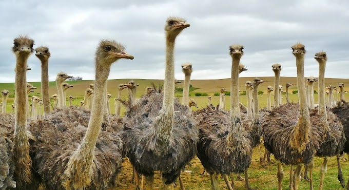 The ostrich is the largest and heaviest living bird