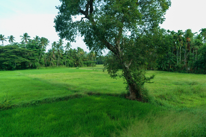 Paddy fields and trees in Sri Lanka