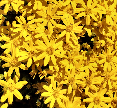 damianita daisy desert low shrub