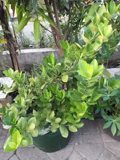 budidaya jeruk lemon dalam planter bag