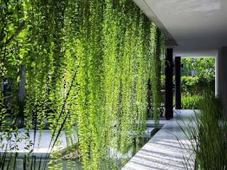 Jual Tanaman Juntai Li Kuan Yu / Tanaman Rambat Li Kuan Yu / Tukang Taman