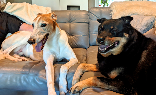 image of Dudley the Greyhound and Zelda the Black and Tan Mutt sitting on the sofa beside each other, grinning