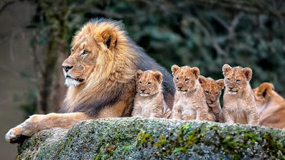 Lion babies images | Lion child picture - lion information 2020
